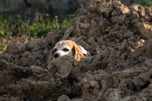Pies obserwuje murowanie ścian fudnamentowych